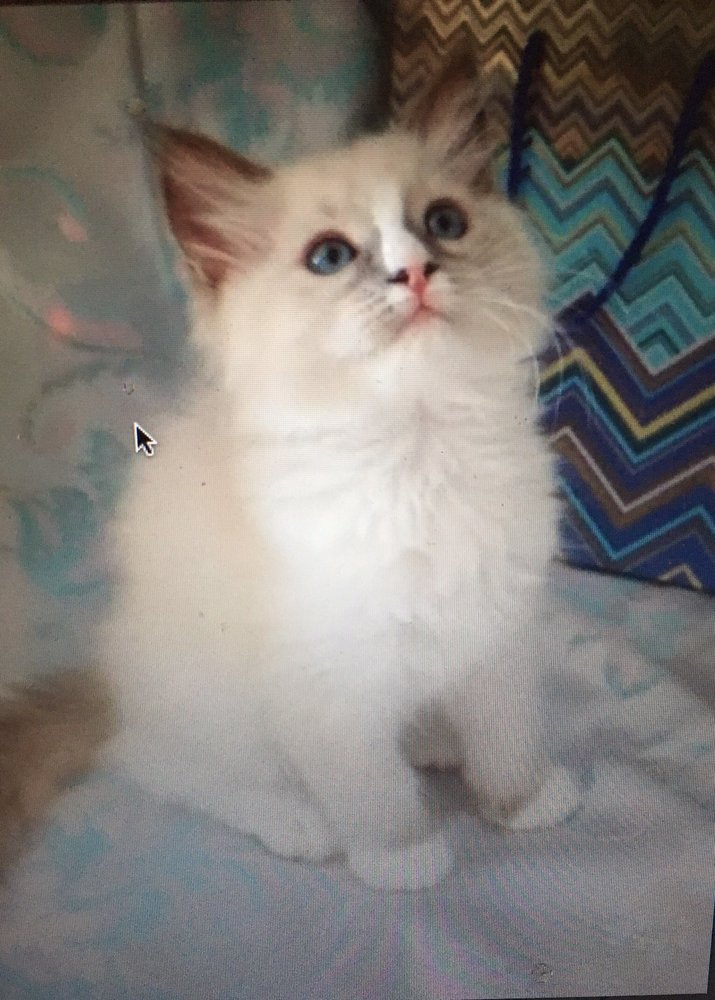 Ragdoll Kittens Cattery: Rugby, ND