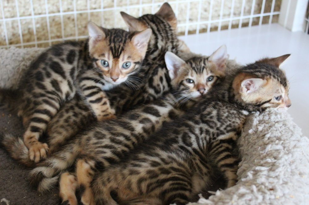 Baby Bengals: Aliso Viejo, CA