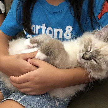 Calirags- Ragdolls Cattery - Anaheim, CA - 2019 All You Need