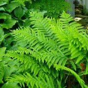Boston Ferns Photo Of Calloway S Nursery Denton Tx United States