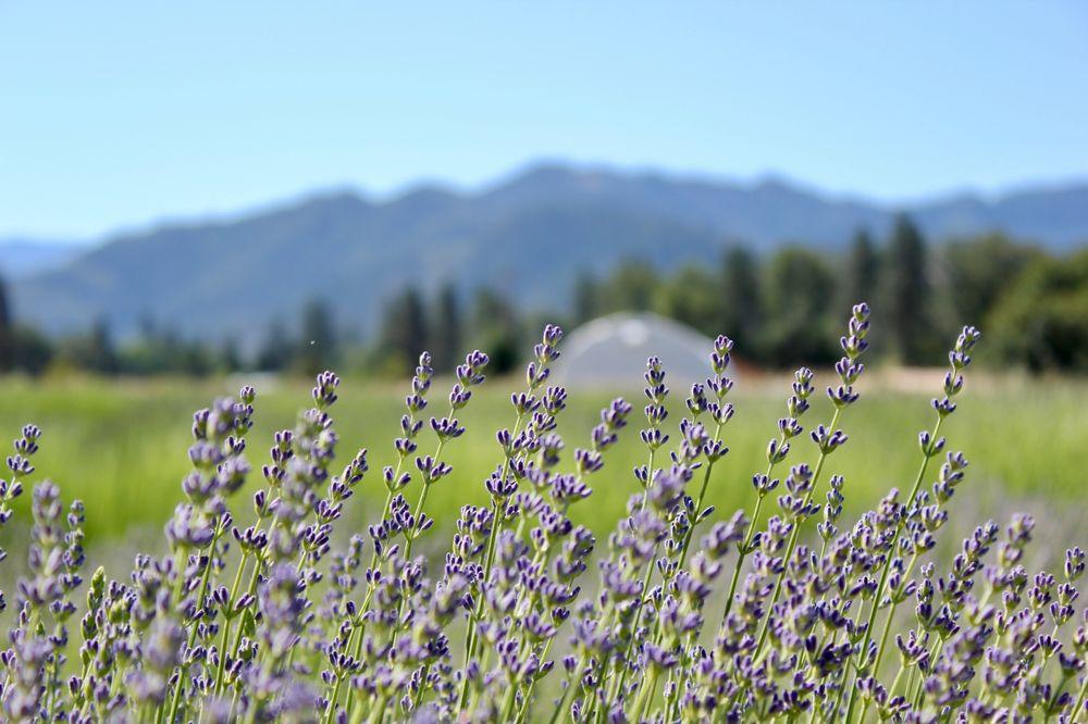 Lavender Fields Forever: 375 Hamilton Rd, Applegate, OR