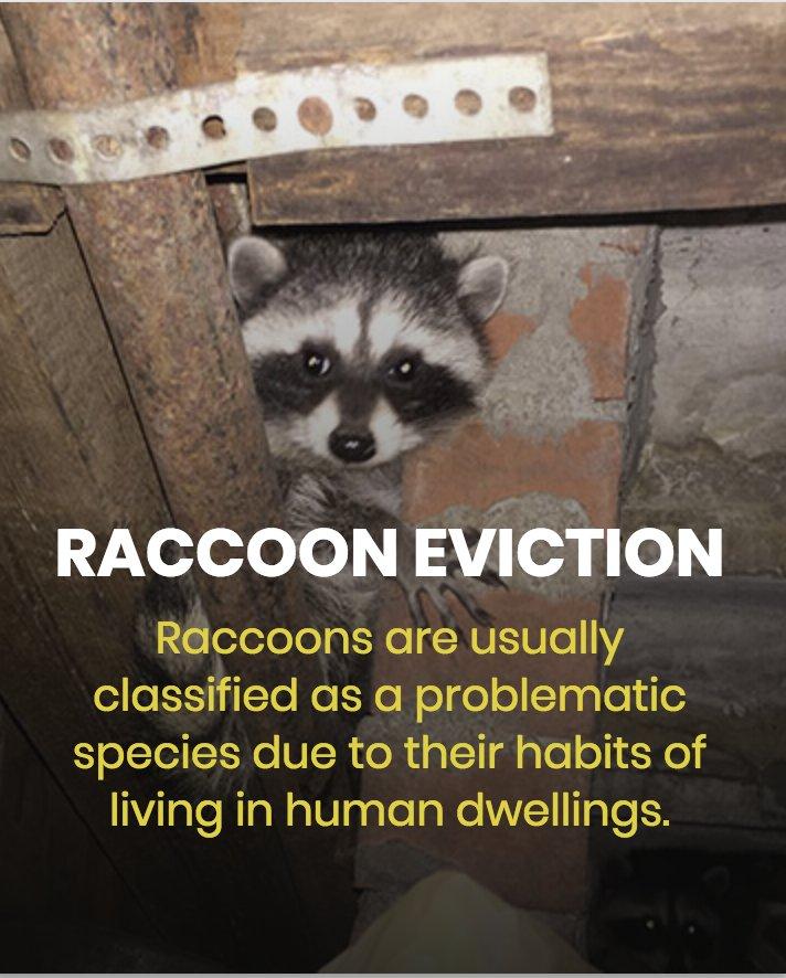 Mr  Raccoon - 18 Photos & 32 Reviews - Wildlife Control