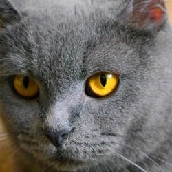 British Shorthair Breeder - Pet Services - Zeisigwaldstr  8