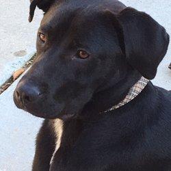 Golden gate labrador retriever rescue san francisco