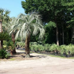 Photo Of Palm Trees Johns Island Sc United States They Many