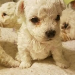Starlight Bolognese Request A Quote 29 Photos Pet Breeders