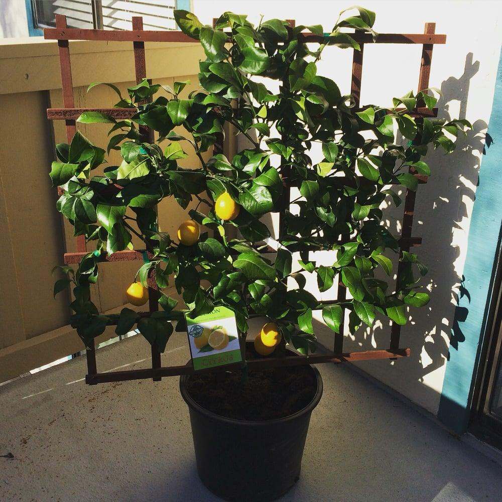 photo of costco south san francisco ca united states meyer lemon tree
