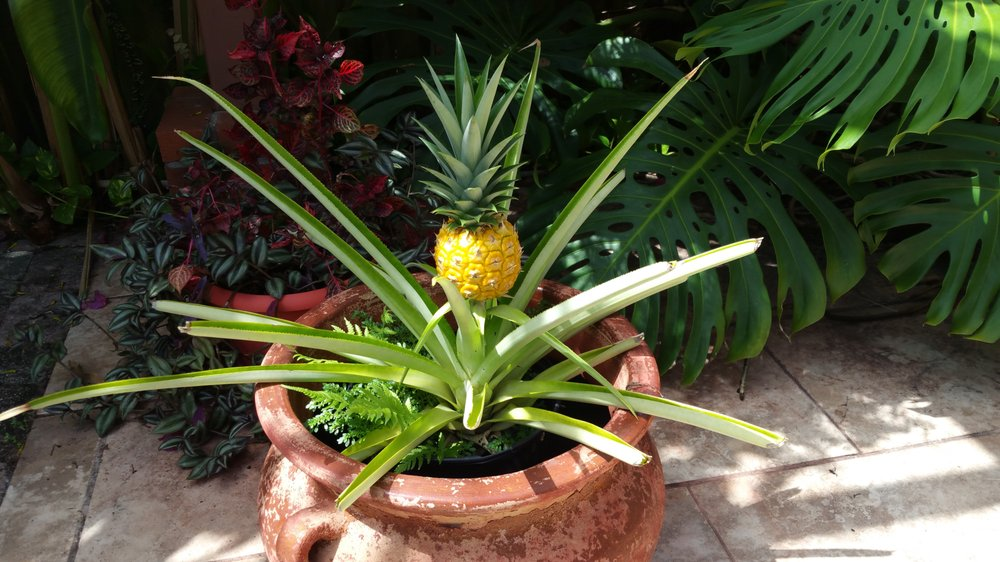 Our Very Own Pineapple The Universal Symbol Of Hospitality Yelp
