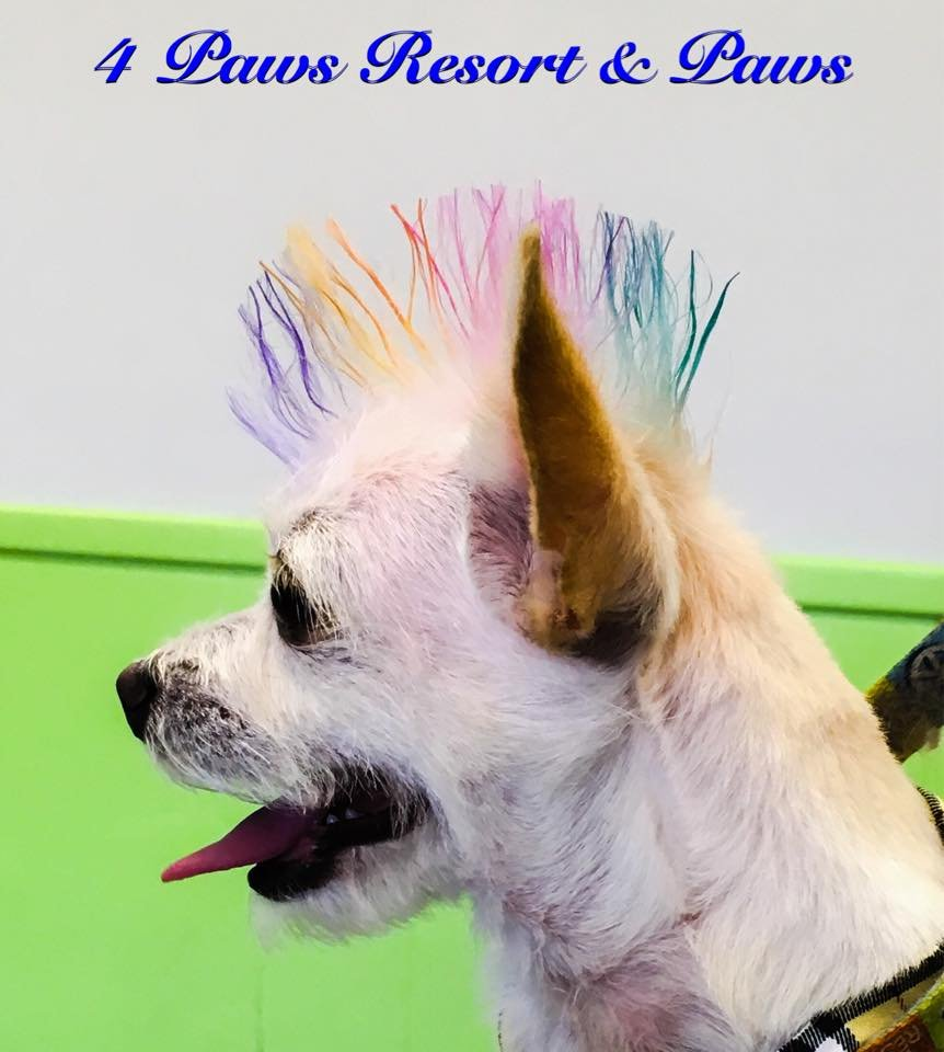 Oliver with his rainbow mowhawk yelp for 5 paws hotel and salon