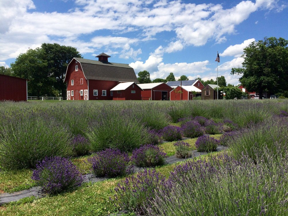 Lavender Fields With Gift Shop In The Background Yelp