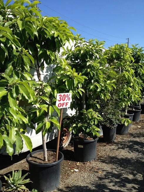 Photo Of Emily Garden Nursery Santa Ana Ca United States Michelia Alba