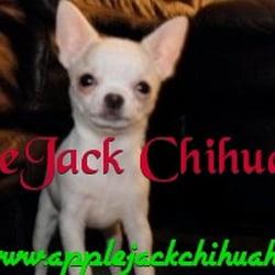 Applejack Chihuahuas Closed 15 Photos Pet Stores Rt 40