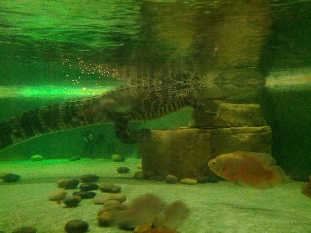 Live gator they keep in a tank near the entrance exit yelp for Fish camp jacksonville