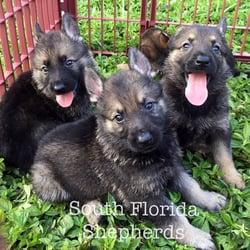South Florida German Shepherds 114 Photos Pet Breeders 3541 Nw
