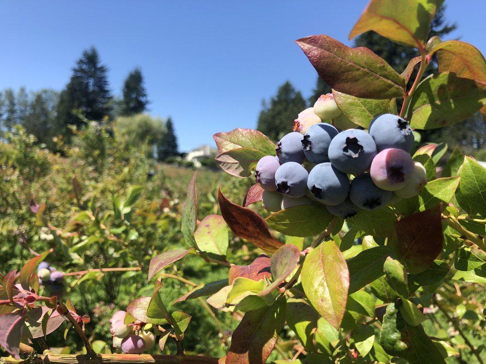 Blueberry Blossom Farm: 8628 Fobes Rd, Snohomish, WA