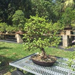 Photo Of Dragon Tree Bonsai Palm City Fl United States Beautiful Dwarf