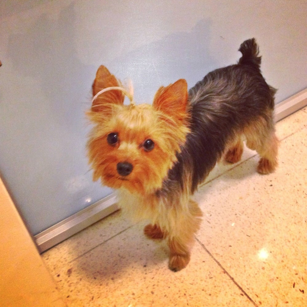 Thank You Jamie Mila Looks Amazing Yorkies Grooming Topknot Yelp