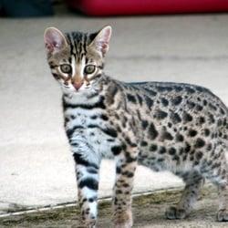 free bengal kittens in michigan