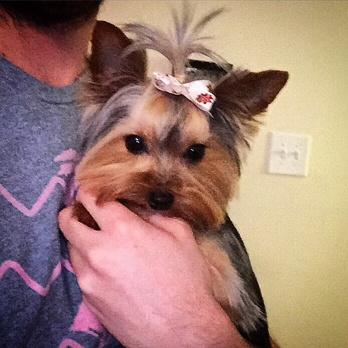 Yorkie Kennel Cut With A Top Knot Yelp