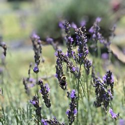 Seven Oaks Lavender Farm - Temp  CLOSED - 102 Photos & 57