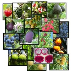 Photo Of Bonita Creek Nursery Ca United States Avocado Cherimoya