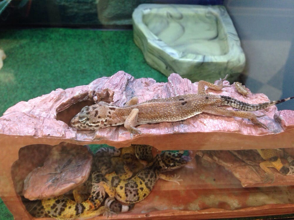 dying leopard gecko yelp
