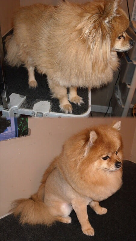 lion pomeranian pomeranian before and after lion cut with a mohawk to the 117