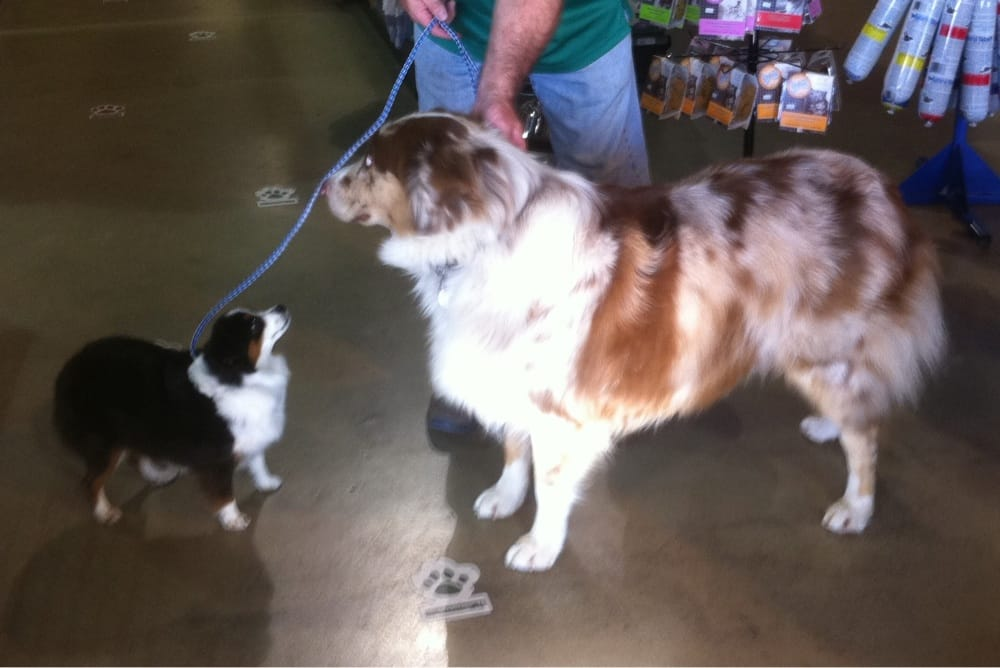 Toy Aussie, Monster with a standard size Australian ...