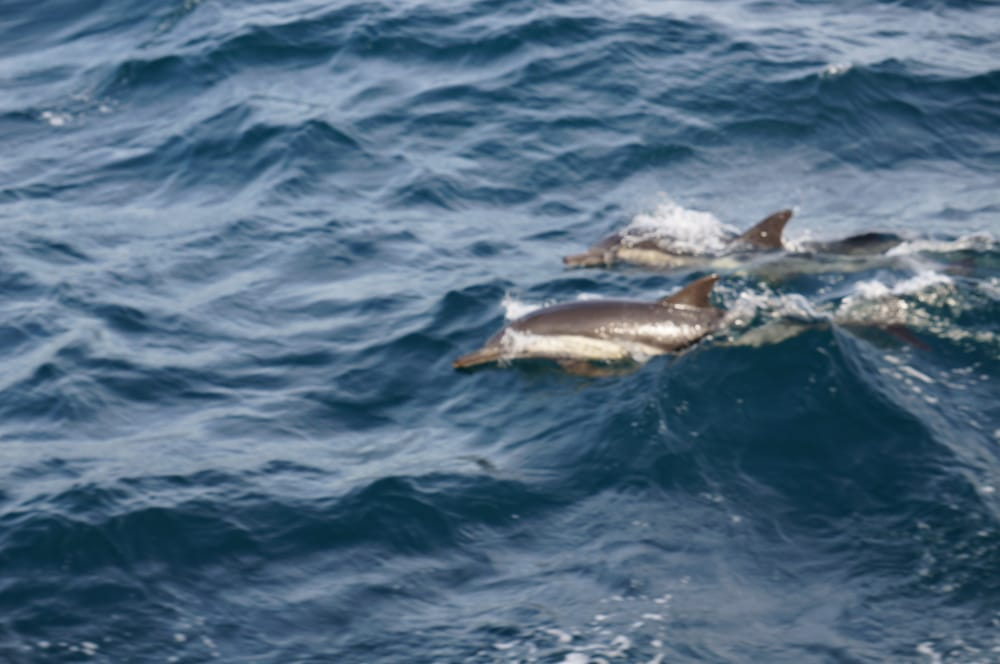 Common Dolphins Yelp