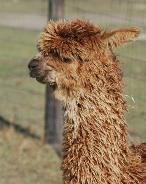 Social Spots from Long Hollow Suri Alpacas