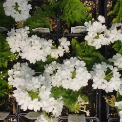 Photo Of Howard Pine S Garden Center Green Houses Lawrence Ks United States