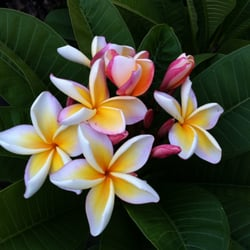 Photo Of Plumerias By The Sea Cardiff Ca United States