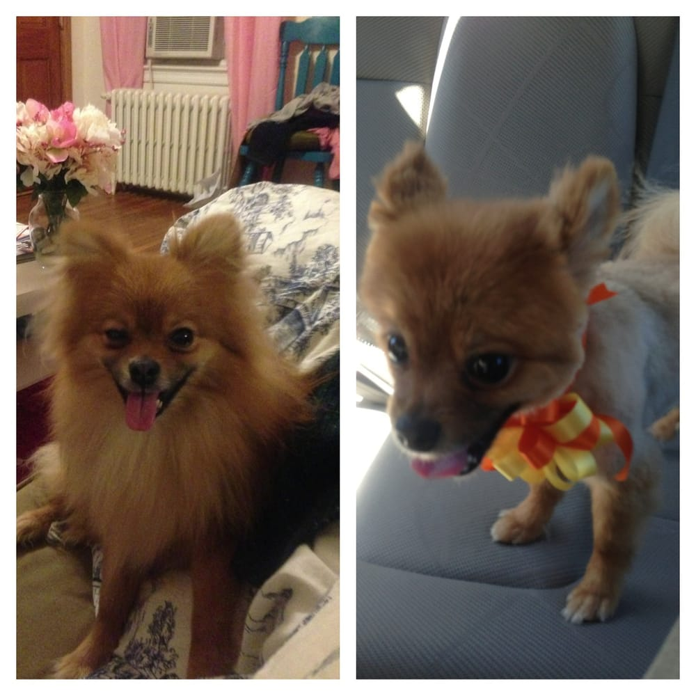 pomeranian groomer near me bj my boy pomeranian before and after yelp 1125