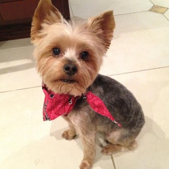 teddy haircut for yorkies the gallery for gt terrier teddy haircuts 4574