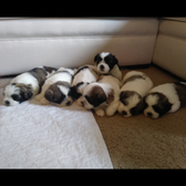 All About Puppies - 27 Photos & 50 Reviews - Pet Stores