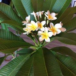 Photo Of Island Plumeria Northridge Ca United States Matthew Helped Us Pick