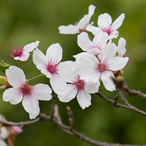 Cherry blossom festival descanso gardens la canada Cherry blossom festival descanso gardens