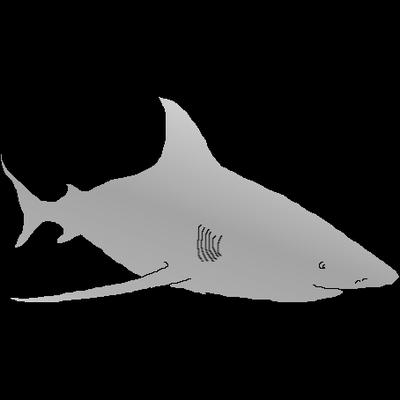 Carcharhinus L.