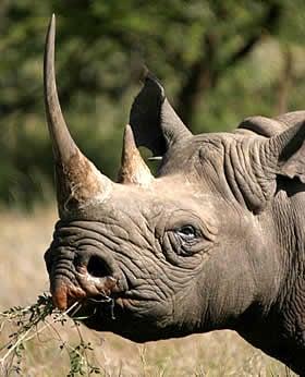 Rhinopolis M.