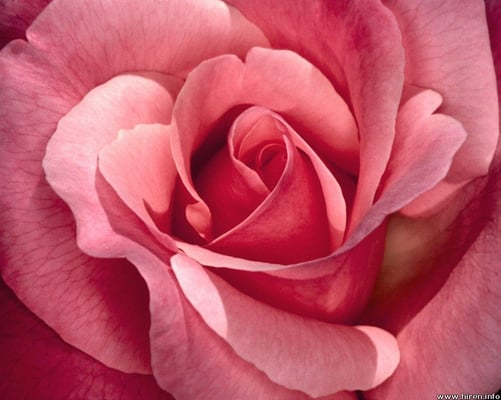 Pink R.