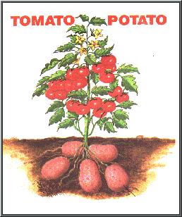 tomato-potato o.